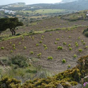 Hillside vineyards on 'pezoules'- fields on stone-built terrace