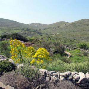 'Ardikas' plants in Vounia valley, Paros