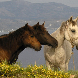Horses on the hills of Kostos, Paros
