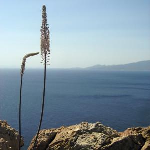 Wild onion flowers, Iraklia island