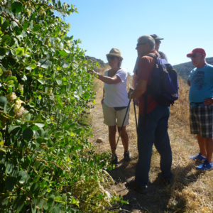 Walking and discovering caper bush in the Herbs, Cheese & Wine Tour, Paros island, Greece