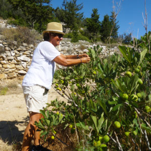 Fig picking in June, Parian Herbs, Cheese & Wine Tour, Paros, Cyclades, Greece .