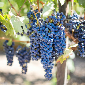 Mandilaria variety grapes in August during the Parian Herbs, Cheese & Wine Tour, Paros island, Cyclades, Greece.
